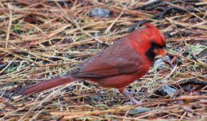 Cardinal Rock Hill, SC