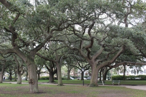 Beautiful Oak Trees in the Park