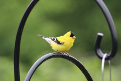 American Goldfinch Columbus, Ohio