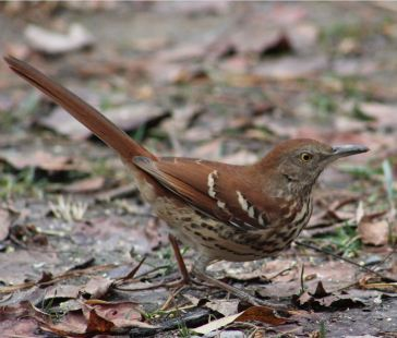Brown Thrasher Rock Hill, SC