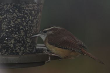 Carolina Wren Rock Hill, SC