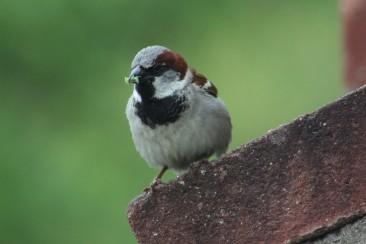 House Sparrow Columbus, OH