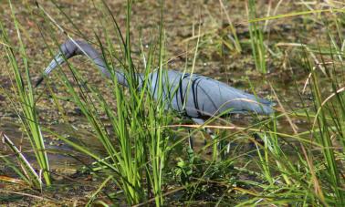 Little Blue Heron LArgo, FL