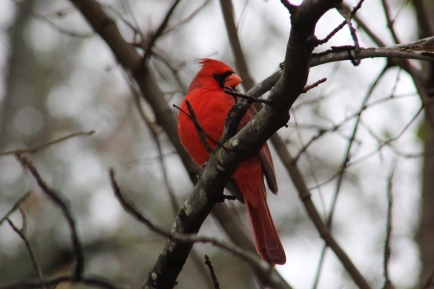 Northern Cardinal Rock Hill, SC