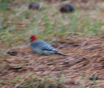 Red-bellied Woodpecker Rock Hill, SC
