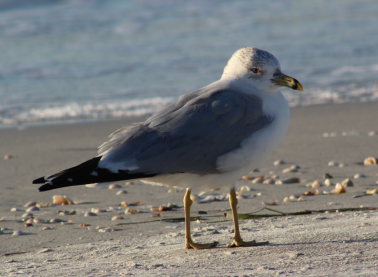 Ring Billed Gull Largo, FL