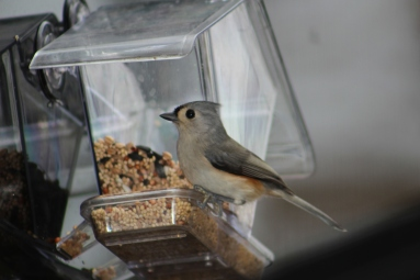 Tufted Titmouse Rock Hill, SC