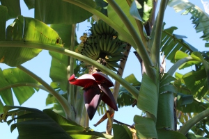 I had no idea bananas had a large flower at the bottom. Reminded me a bit of the flower from Little Shop of Horrors