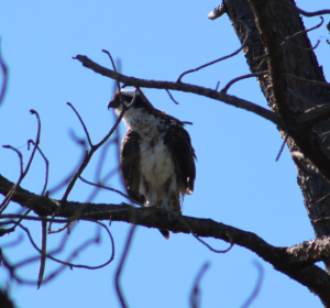 We were so excited when we got close enough to this osprey to get some pictures