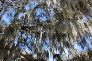 Another Spanish Moss pic for Lee