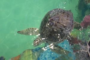 Rehabilitating turtle in its habitat