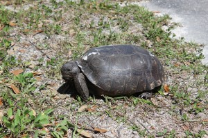 Big Turtle walking on the side of the road in the park