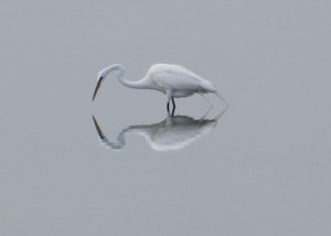 Egret with reflection in marsh