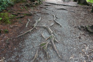 The trail was moderate difficulty level and you did need to watch your step as roots were growing in the path