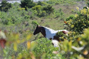 "We stopped and saw some ""wild"" ponies. They are descendants of the original wild beach horses"