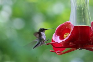 Great pic of a Ruby-throated Hummingbird that Lee got