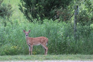 The fawn that visited us every morning