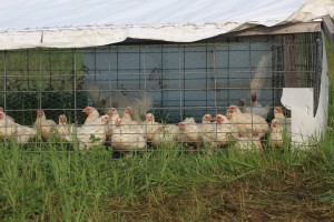 Then they move to a chicken coop that can be picked up and moved allowing for free grazing