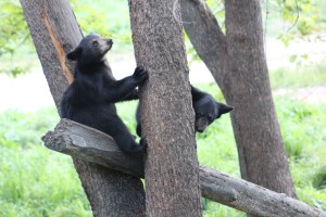 The first thing the mom's teach the babies is how to climb a tree and when they growl the babies go up fast