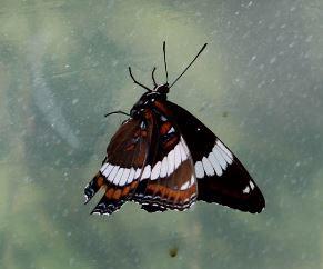 YButterfly