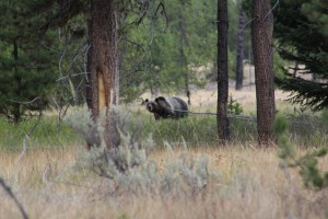 You can clearly see the hump of the back which shows it's a grizzly