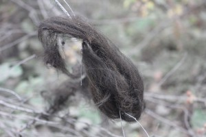 A big clump of what I think was bear hair I saw much later in the day., I got out to check it and it feels like human hair