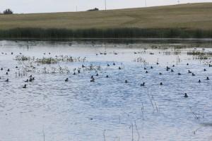Tons of ducks