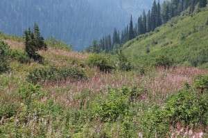 There is a Hoary Marmot in this picture Ellen spotted