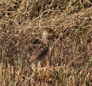 Baby Pheasant