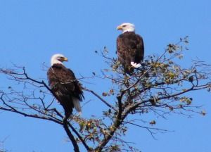 Lee got this amazing shot of two eagles