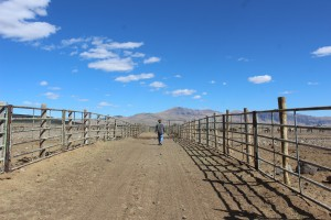 Lee walking down the center between the corrals