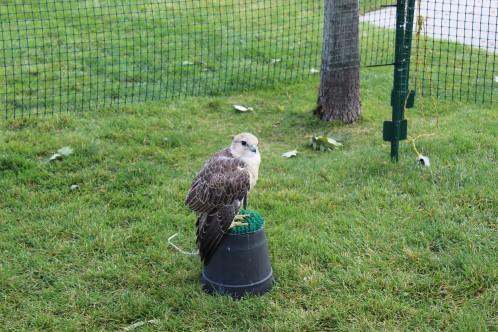 Falconer had several birds