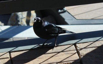 Brewer's Blackbird, Lake Tahoe