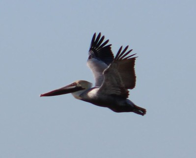 Y BROWN PELICAN2