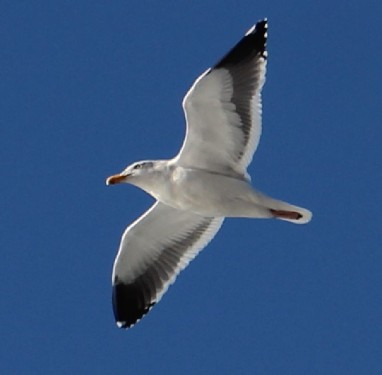 California Gull, Lost Coast, CA