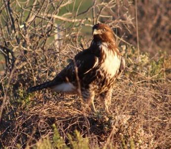 Red-tailed Hawk Lost Coast, CA
