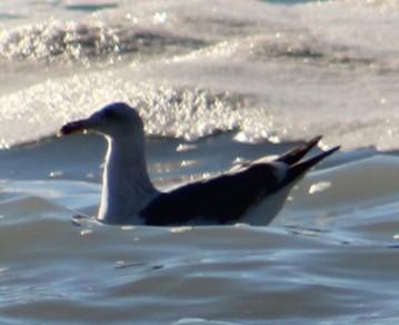 Western Gull, Lost Coast, CA