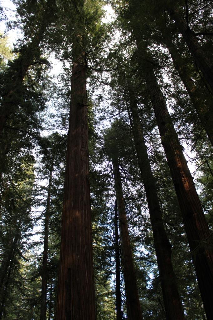 Big Tree Grove , the tall tree