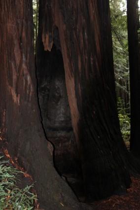 Huge living tree you can walk inside