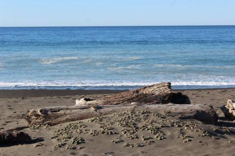 Huge trunks of trees as driftwood