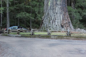 Chandelier tree was one of the drive through trees