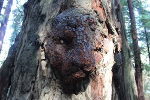 This burl on a tree reminded me of a jaguar face