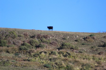 And there were cows grazing on the hills behind the beacj