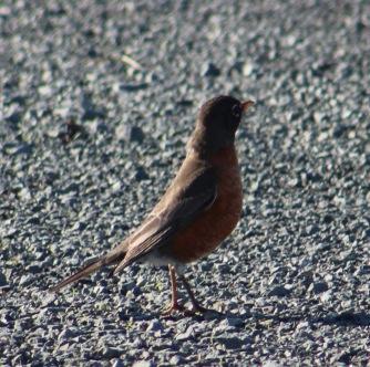 American Robin, Eureka CA