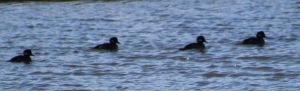 This bufflehead was a first for me