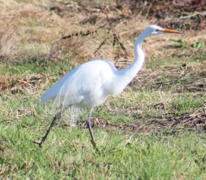 Great Egret hanging out by the visitors center