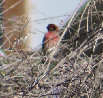 House Finch, Eureka, CA