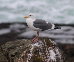 Y HERRING GULL
