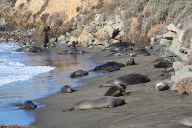 So many elephant seals!