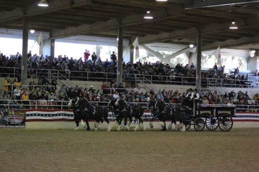 The Dakota Thunder Shires are beautiful. I love draft horses